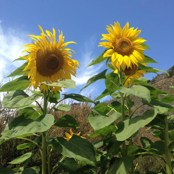 Earthbound Organic Farm Stand Sunflowers