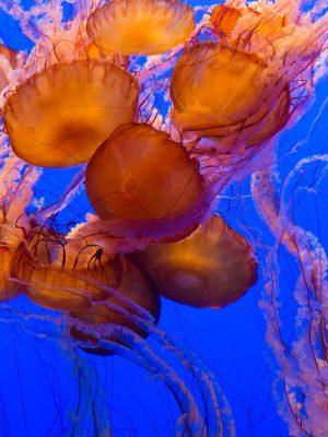 Monterey Bay Aquarium Jellies Exhibit