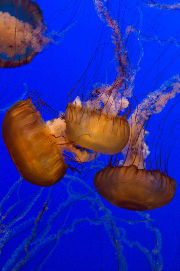 Monterey Bay Aquarium Jellies Exhibit