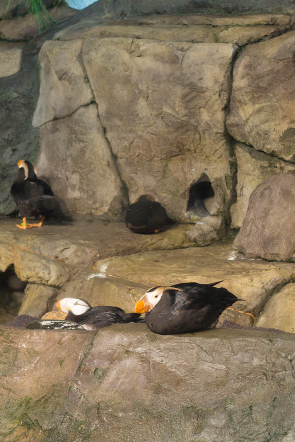 Monterey Bay Aquarium Puffins