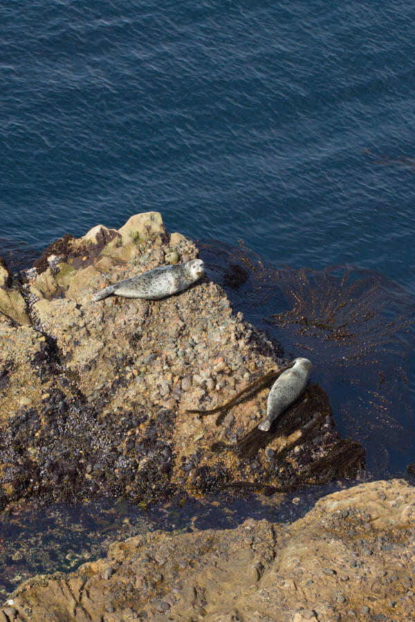 Point Lobos State Reserve, Carmel, California - Harbor Seals
