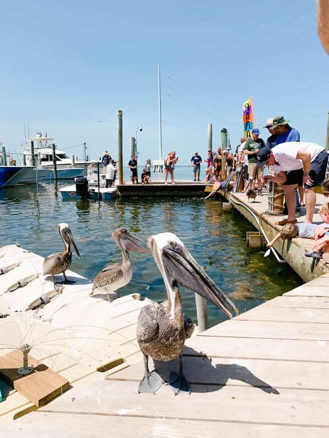 Three pelicans sitting on a dock at Robbie's Marina.